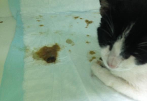 Aproximacion al vomito en el paciente felino