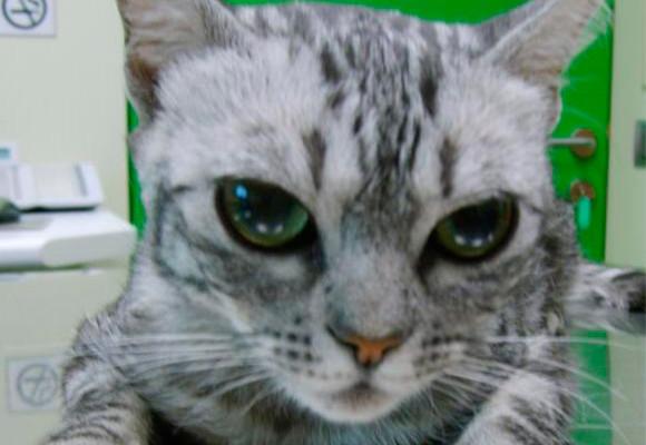 Hipertiroidismo felino: Actualización ¿Que es lo ultimo que debo saber?